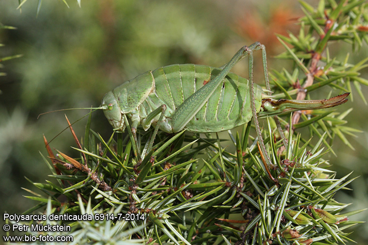Polysarcus (Orphania) denticauda 6914-7-2014 CZ: kobylka zavalitá DE: Die Wanstschrecke HU: Fogasfarkú szöcske NL: De dikbuiksprinkhaan ENG: large saw tailed bush cricket SK: kobylka zúbkatá