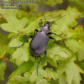 Calosoma-inquisitor-9454-5-2013.jpg