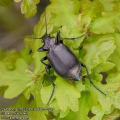Calosoma-inquisitor-9466-5-2013.jpg