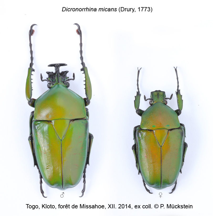 Dicronorrhina micans