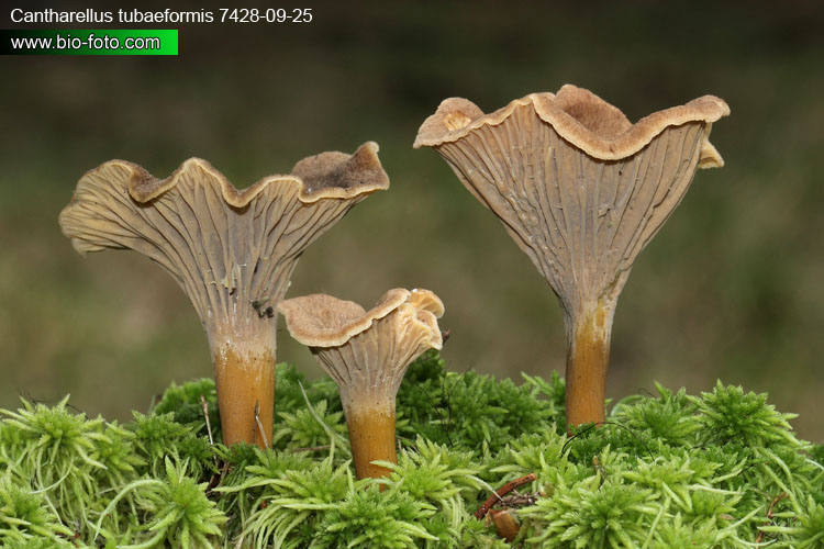 Cantharellus tubaeformis) in moss near kavgolovo lake, north from saint petersburg