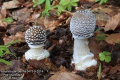 Amanita-pantherina-0473-9-2014.jpg