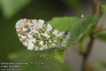 Anthocharis-cardamines-2161-5-2014.jpg