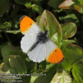 Anthocharis-cardamines-2179-5-2014.jpg
