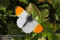Anthocharis-cardamines-2182-5-2014.jpg