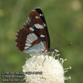 Limenitis-reducta-1627-7-2013.jpg