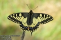 Papilio-machaon-1995-5-2015.jpg