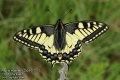 Papilio-machaon-2004-5-2015.jpg