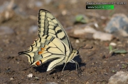 Papilio-machaon-3137-10-2010.jpg