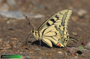 Papilio-machaon-3139-10-2010.jpg