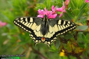 Papilio-machaon-4426a-09-17.jpg