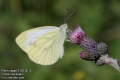 pieris-rapae-5125-2012.jpg
