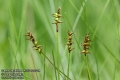Carex-davalliana-4167-6-2014.jpg