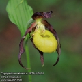 Cypripedium-calceolus-3879-5-2014.jpg