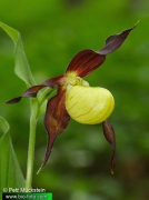 Cypripedium-calceolus-IMG_5026.jpg
