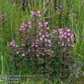 Pedicularis-palustris-0144-6-2013.jpg