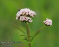 Valeriana-officinalis-2401-5-2014.jpg