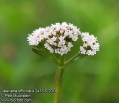 Valeriana-officinalis-2433-52014.jpg