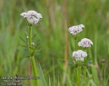 Valeriana-officinalis-2459-5-2014.jpg