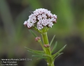 Valeriana-officinalis-2469-5-2014.jpg