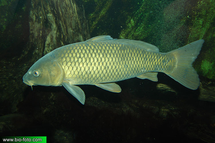 Cyprinus carpio hungaricus 8896 CZ: kapr obecný sazan DE: Karpfen ET: Karpkala ES: Carpa común europea EO: Karpo FA: کپور FR: Carpe commune KO: 잉어 HR: Šaran IO: Ciprino ID: Ikan mas IT: Carpa HE: קרפיון מצוי KA: კობრი LT: Paprastasis karpis HU: Ponty MN: Булуу цагаан NL: Karper JP: コイ NO: Karpe PL: Karp PT: Carpa-comum RU: Карп SR: Сазаан SQ: Krapi SK: Kapor obyčajný SU: Lauk Emas FI: Karppi TH: ปลาไน TR: Sazan balığı UA: Короп VI: Cá chép CN: 鯉 UK: Common carp AZ: Çökə BS: Šaran BR: Karpenn BG: Шаран CA: Carpa DK: Karpe