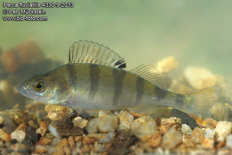 Perca fluviatilis 4330-9-2013