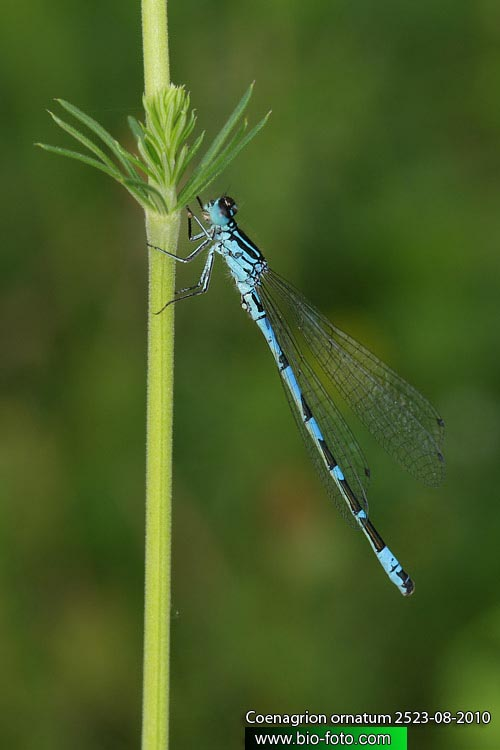 Coenagrion ornatum 2523-08-2010 UK: Ornate Bluet CZ: Šidélko ozdobné DE: Vogel-Azurjungfer NL: Vogelwaterjuffer FR: Agrion orné SK: Šidielko ozdobné HU: Díszes légivadász PL: Łątka ozdobna RU: Стрелка украшенная