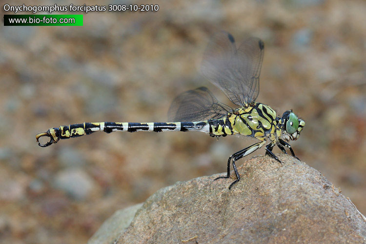 Onychogomphus forcipatus 3008-10-2010 CZ: Klínatka vidlitá DE: Kleine Zangenlibelle PL: Smaglec mniejszy CZ: Klínatka vidlitá SE: Stenflodtrollslända NO: Tang-elveøyenstikker RU: Дедка европейский UA: Оніхогомфус кліщоносний HU: Csermelyszitakötő SI: Bledi peščenec UK: Green-eyed Hook-tailed Dragonfly Small Pincertail DK: Lille Tangguldsmed FI: Pihtijokikorento FR: Gomphus à pinces NL: Kleine tanglibel IT: Gonfo a pinze