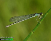 Enallagma-cyathigerum-IMG_3371.jpg